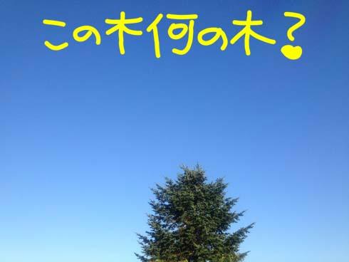 松っぽい木です。(笑)