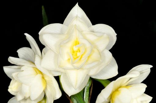 Narcissus ' Erlicheer '