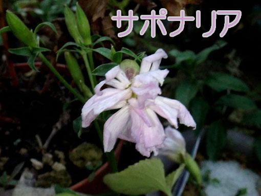 今年のサポナリアはゴーヂャスに咲きました。