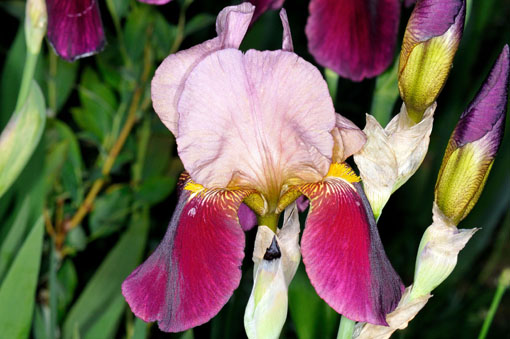 Iris ' Indian Chief '